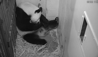 National and World News | Mei Xiang cradles her newborn cub at the Smithsonian National Zoo on Aug. 25, 2020. Zookeepers expect to be able to perform a health check soon. (Smithsonian Institution)