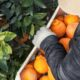 USA Press Agency in Battle Creek MI | Sumo Citrus a cult favorite
