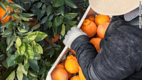 USA Press Agency in Battle Creek MI   Sumo Citrus a cult favorite
